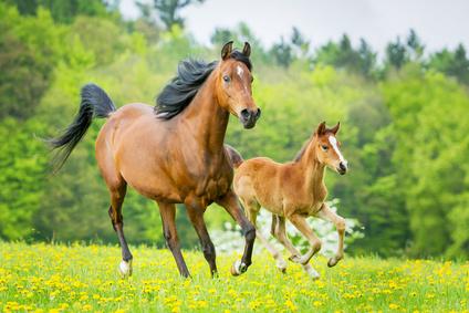 Die Schafgarbe ist auch für Pferde wichtig
