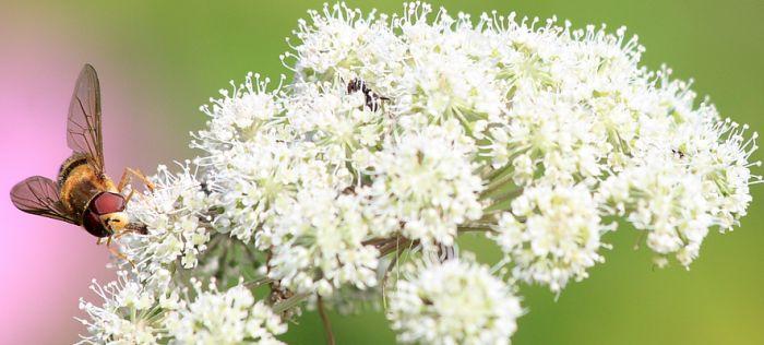 Schafgarbenkraut für Insekten